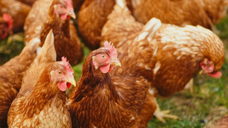 The Importance Of Carefully Choosing Which Chicken Feed To Use