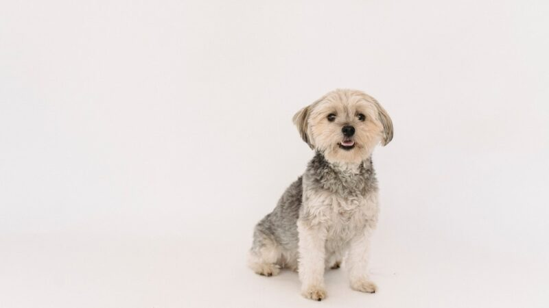 Care Tips and Recommendations for Yorkshire Terriers – A Detailed Overview
